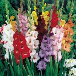 Gladiolus Urdu Translation And Meaning The Urdu Dictionary
